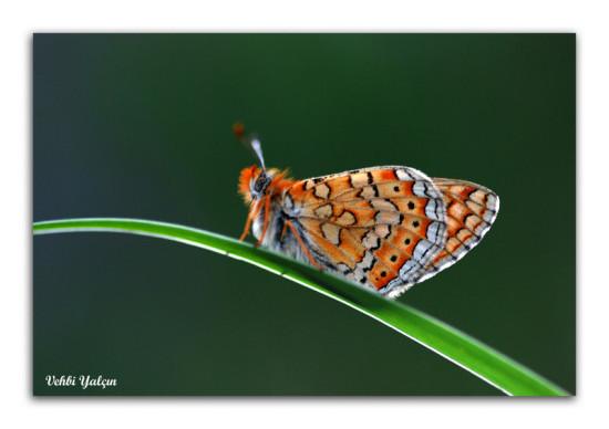 Doğanın Kanatlı Senfonisi  Kelebekler